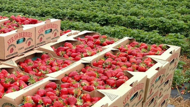 Green Acres Berry Farm gives leftover berries to Youth Town, RIFA, soup kitchens or other needy organizations.