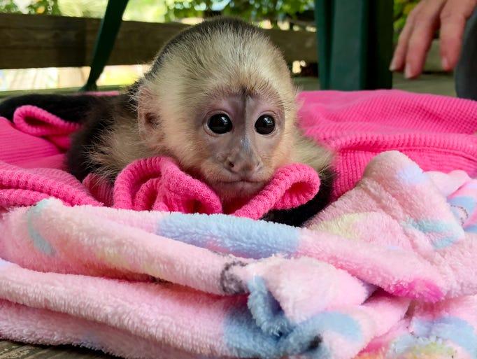 Mimi, a Capuchin monkey, was born March 8 at the Alabama