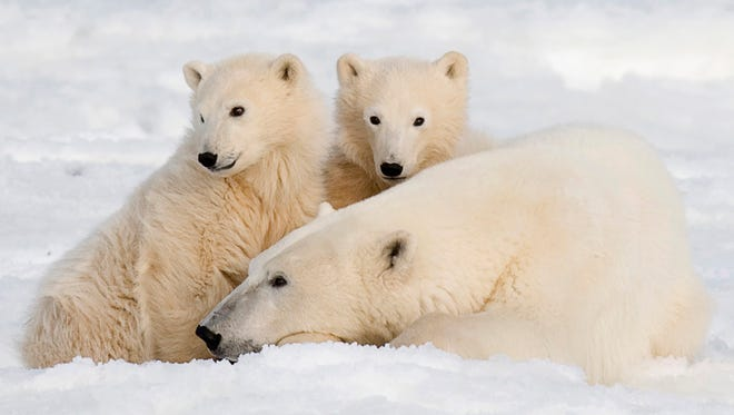 In this Nov. 4, 2007 file photo, a polar bear and her two cubs  sit in Wapusk National Park on the shore of Hudson Bay near Churchill, Manitoba, Canada.