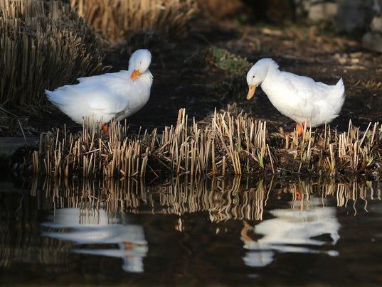 ducksspring
