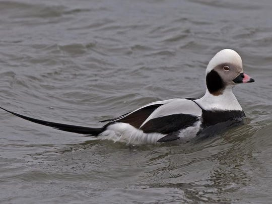 A long-tailed duck. Some birders carry field guides