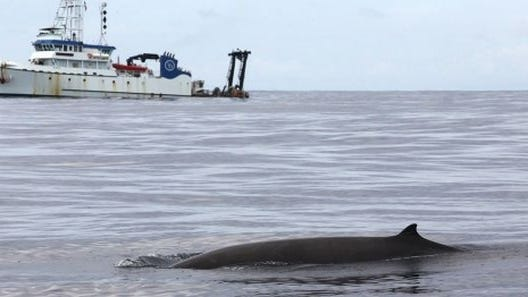 The research vessel Hugh R Sharp is in the background as a beaked whale surfaces nearby. Recent studies were done about 200 miles south of the Cape.