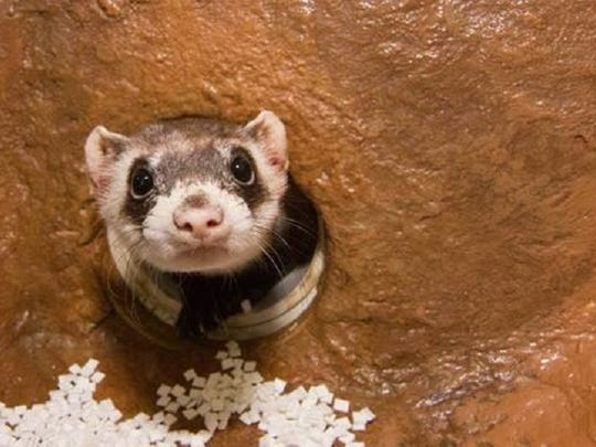 Fort Collins Museum of Discovery is home to two black-footed ferrets.