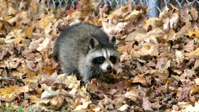 A raccoon in a file photo at Cortlandt Town Hall.