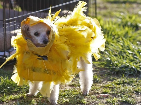Toby, a 10 year-old toy poodle, won first place in the costume contest with his chicken costume during the Easter Dog Treat Hunt at Centennial Park in Woodburn in 2013. Halloween isn't the only time dogs are dressing up.