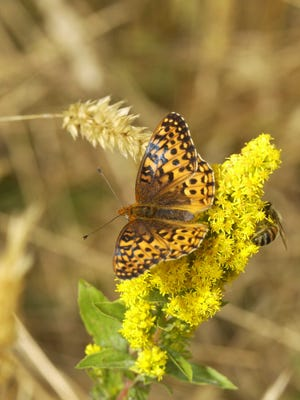 The threatened Oregon silverspot butterfly in its native coastal habitat.