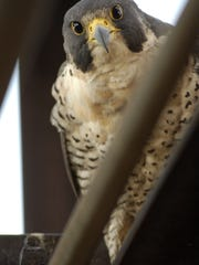 A Peregrine falcon perched at Otto E. Eckert Power Station in Lansing, Michigan.