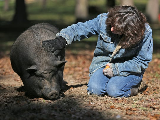 Kelly Thomas pets Gambit, a pot-bellied pig, at A Critter's Chance in Avon, IN., Thursday, Nov. 9, 2017. The 501c3 organization specializes in exotic/domestic pet rescue. They take in everything but cats and dogs.