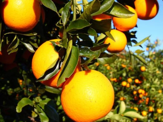 The owner of southeast Lee citrus groves say they need to be able to switch to mining if the citrus industry continues to experience production issues.