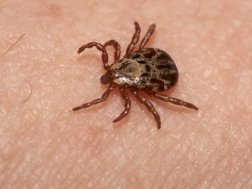 Tularemia is transmitted mainly by ticks.