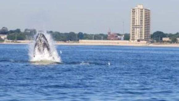 A whale breaching off Deal, New Jersey