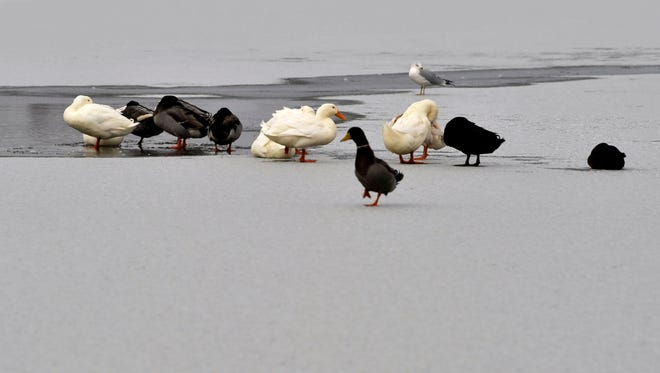 Waterfowl stand on the ice Tuesday at the Nelson Park duck pond, seemingly undisturbed by the frozen surface. The day's high reached 24 degrees and elsewhere on the pond, rocks could be seen scattered atop the ice from passersby testing its strength.