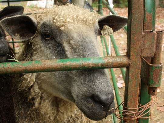 """""""Arnold the Most Excellent Sheep"""" is one of Nyala Farm's"""