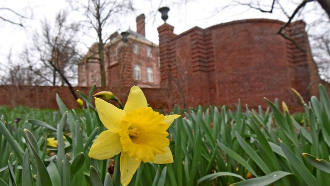 The Trumpet Daffodils are starting to bloom on the grounds at Kingwood Center.