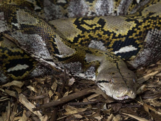 23-foot-long python swallows Indonesian woman