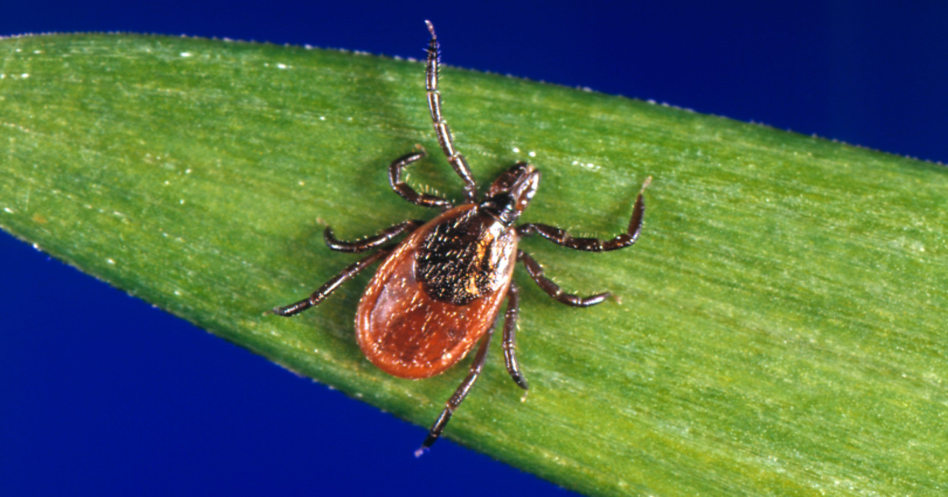 Tick Season What To Know About Ticks Diseases And How To Remove Them