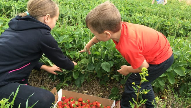 Carter Peterlin, 4, shows his sister Ella Peterlin, 10, a ripe strawberry he spotted at Grayson's Berryland on Sunday, June 18, at Grayson's Berryland in Clear Lake.