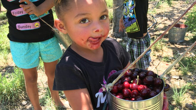 RayLeigh Hendrix, 3, enjoys picking cherries recently at the Cadwallader Mountain Farms orchard in High Rolls, N.M.