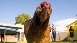Whether chickens run free, are kept in cages or how big those cages are is a matter of much debate.