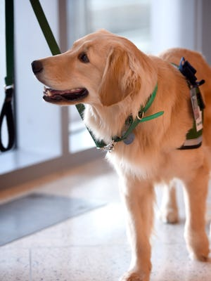 Penn State Children's Hospital added a new employee of sorts in four-legged counselor and friend, Kaia. Kaia, a golden retriever, will join Ashley Kane, manager of the Child Life Program, and secondary handler Alicia Cesare, a Child Life specialist in pediatric radiology.