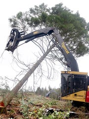 A tree is cutdown at a Pope Resources timber harvest