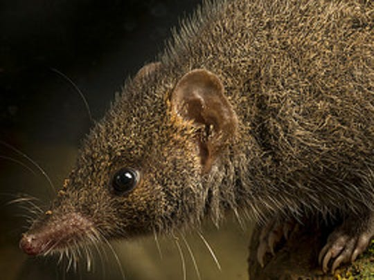 The black-tailed antechinus population is under threat.