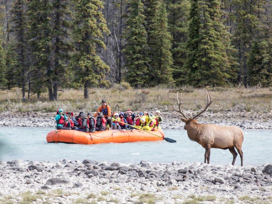 A lone elk peers at rafters on the Athabasca River