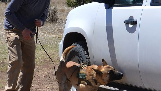 A Belgian Malinois trained in drug detection at Ruidoso Malinois, works with a handler in Colorado