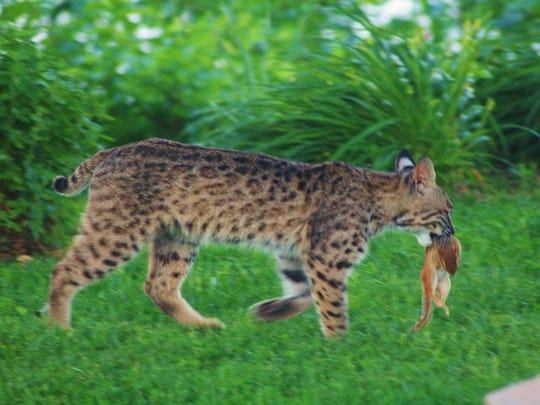 Bobcats are native to Missouri and are sometimes seen roaming the edges of urban areas.