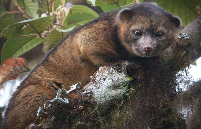 An olinguito