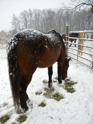 "Teanna Byerts writes about this photo of her mustang Goliath: ""This is a normal horse in snow. With a well-insulated hair coat, the snow does not melt. Herbivores digest plant material, the breakdown of which releases heat internally. Eating forage makes them warm. If they are shivering, they are cold. It's usually temporary. It's dangerous when: Horses have no run-in sheds or other shelter; they experience wind/wet/cold with no shelter; they suffer continuous shivering. Blankets actually mess with their thermoregulation but might be useful for clipped show horses."""