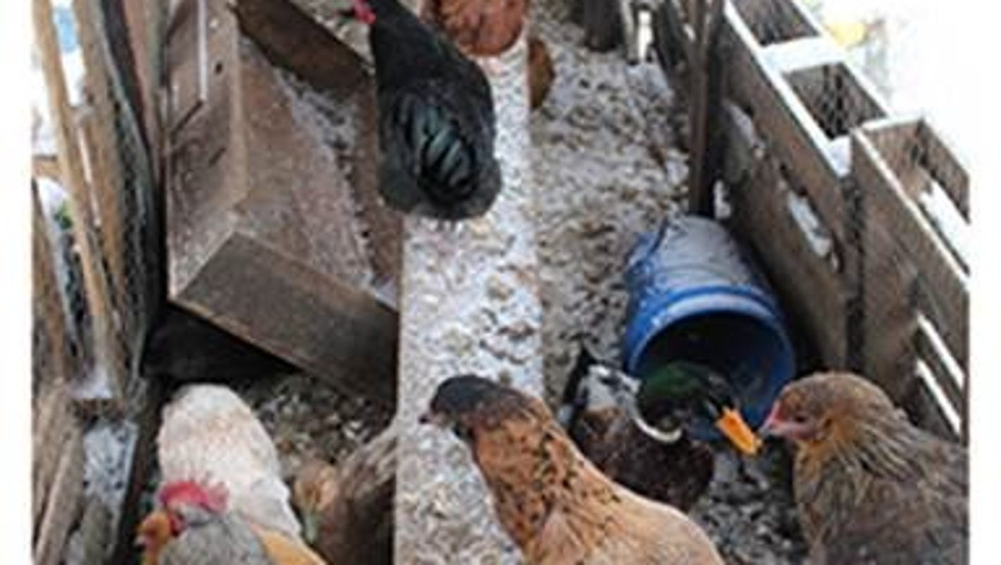 Ypsilanti Township animals found living with dead chickens, feces