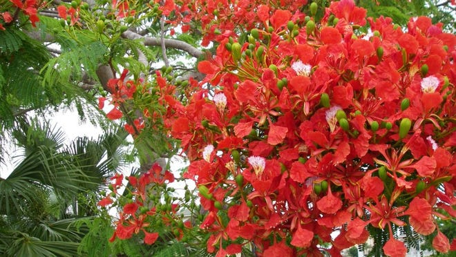 The royal poinciana trees are beginning to bloom from now through July. Submitted