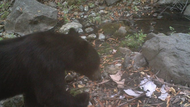 CONTRIBUTED IMAGE/NATIONAL PARK SERVICE Camera traps picked up the presence of a black bear in Malibu Creek State Park in this file photo.
