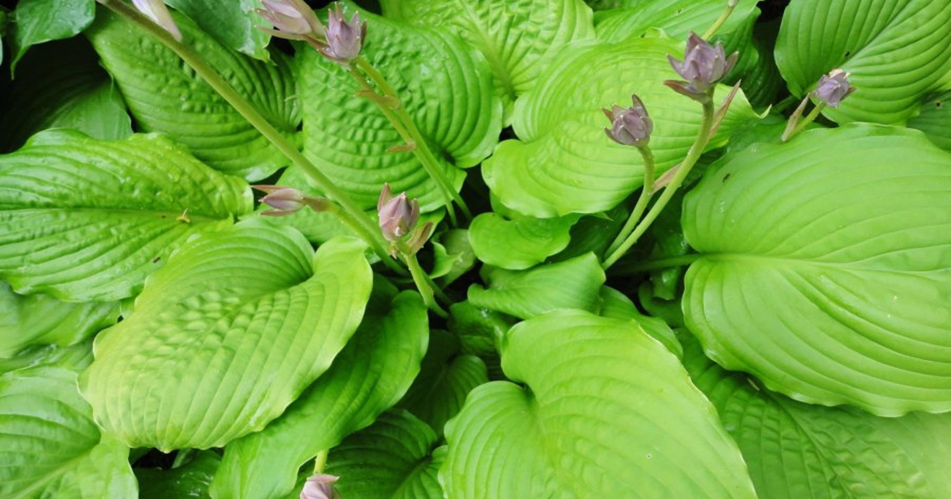 Green Thumb Hosta Enthusiasts Offer Tips For Newbies
