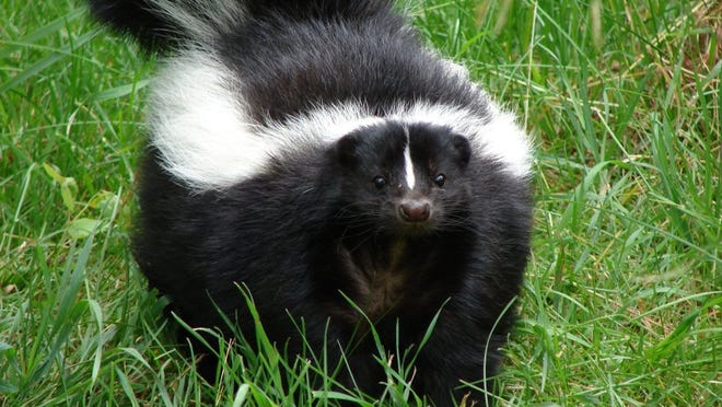 freeimages.com A rabies shot won't protect your pet from all the problems skunks cause, but at least the disease threat will be off the table.