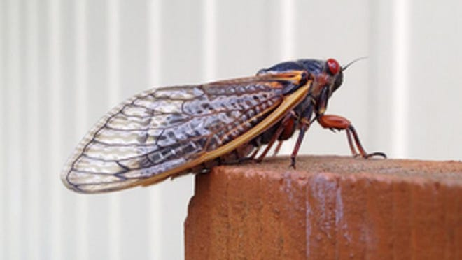 Periodical cicadas are emerging four years ahead of schedule.
