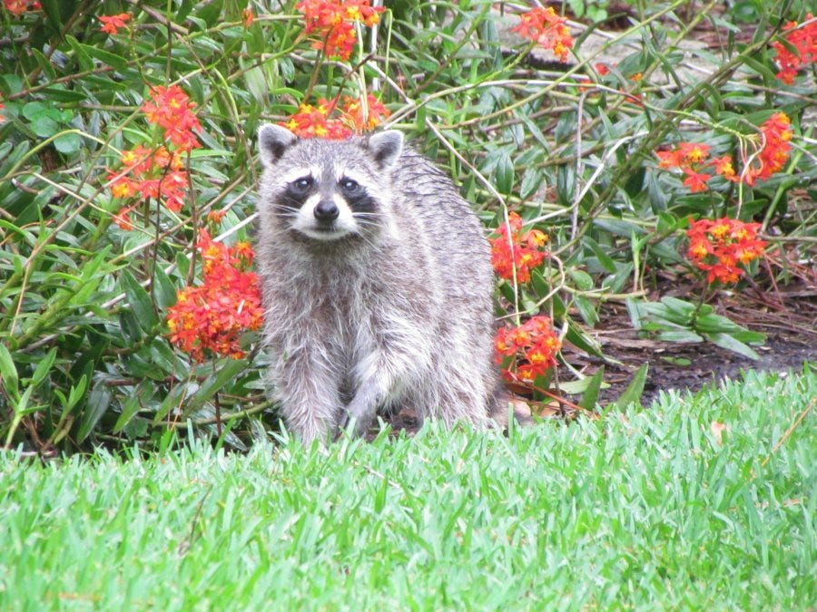 Removal Allstate Animal Control Animal Control Captures Possibly Rabid Raccoon In Vero Beach