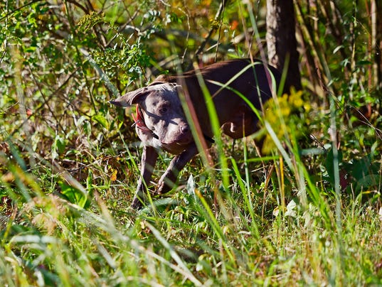 YDR-MC-090917-hunting-dogs