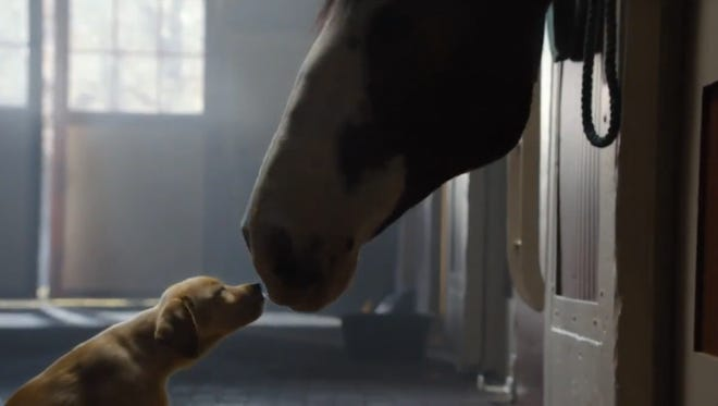 A 10-week-old puppy befriends a Clydesdale in a 2014 Budweiser ad.