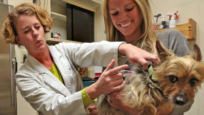 Zoey, an Australian Silky Terrier, receives a canine flu shot to on April 15, 2015, in Kirkwood, Mo.