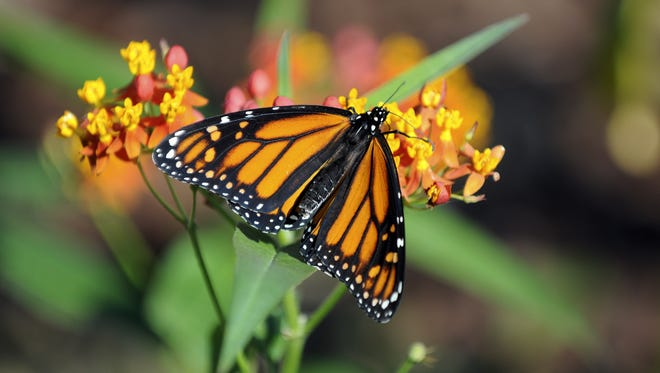 If you're growing a non-native milkweed, be sure to cut it back before Thanksgiving so monarch butterflies will migrate south instead of sticking around.