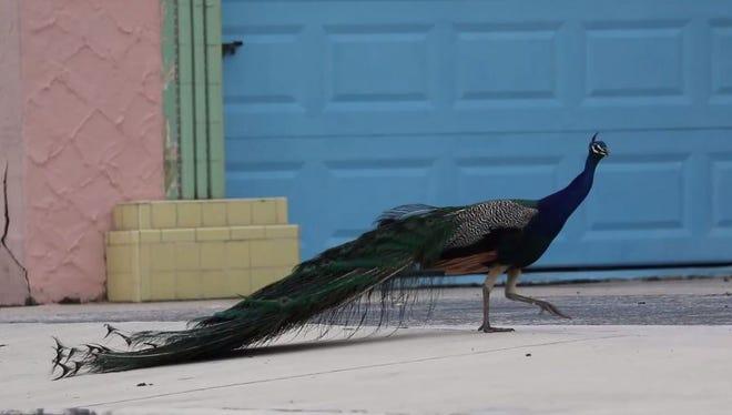A peacock strolls along a street in Fort Pierce.