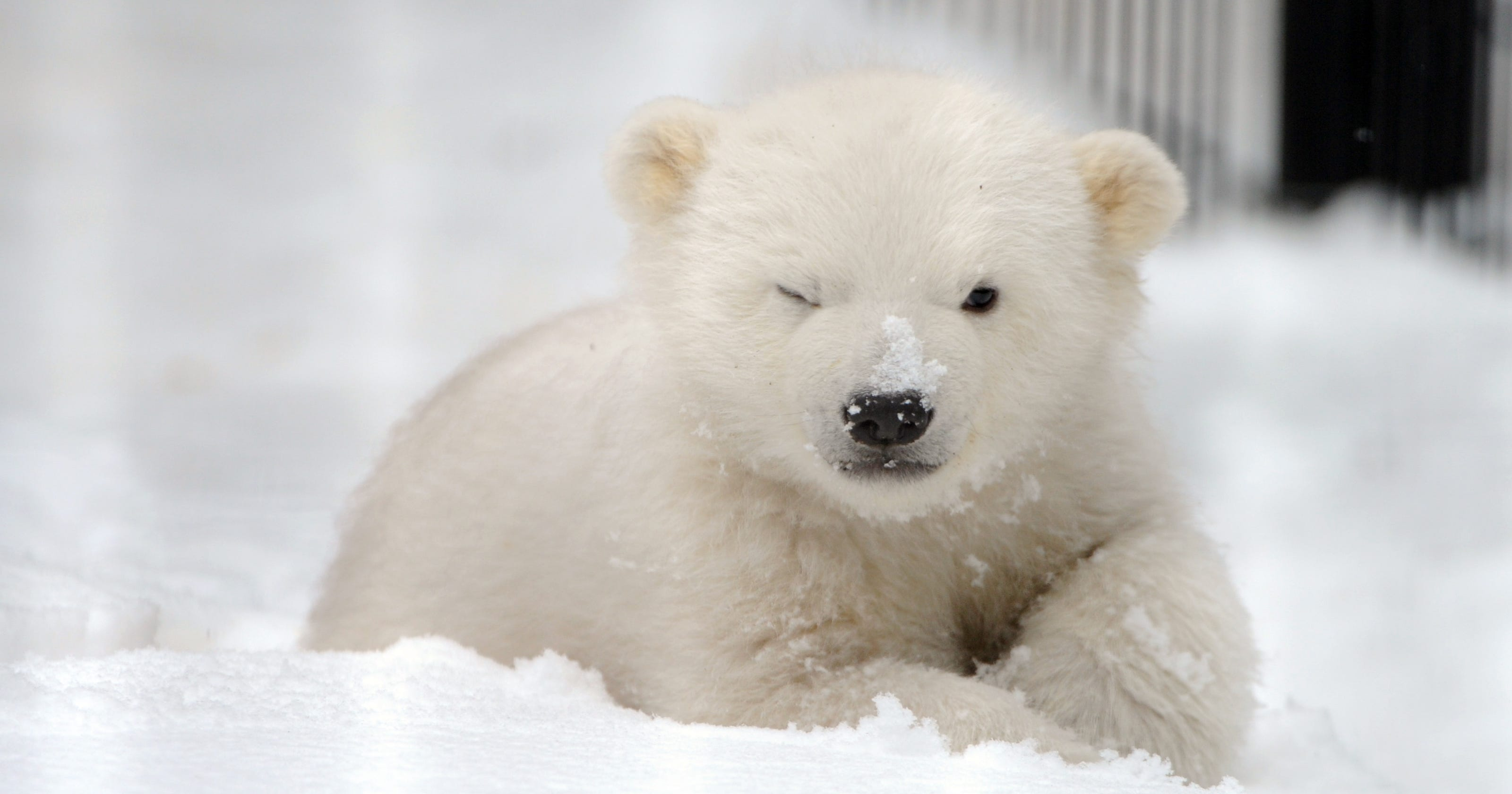 Polar bears and melting ice: 3 facts that may surprise you