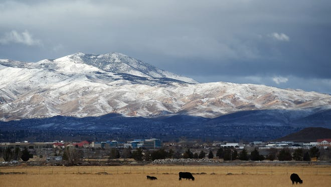 Cattle along Veterans Parkway graze with a view of the fresh snow on Peavine Peak on Christmas morning in Reno on Dec. 25, 2014.