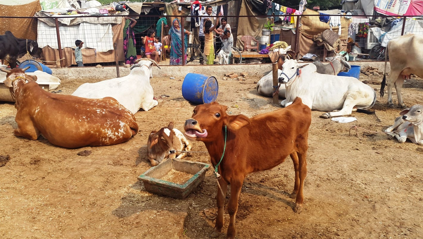 sacred cow in india Sanctity of the cow: sanctity of the cow, in hinduism, the belief that the cow is representative of divine and natural beneficence and should therefore be protected and venerated.