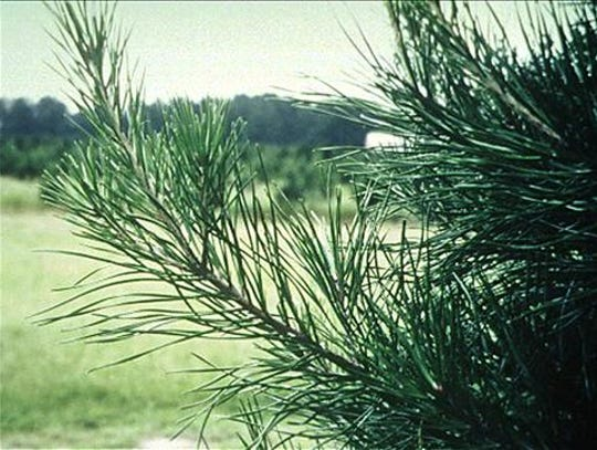 The Virginia pine is one of the most popular Christmas trees in the South. Virginia pines are stout and dense, and they respond well to decorations.