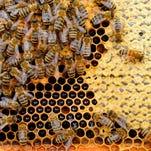 USDA announces $4 million to develop honey bee food sources