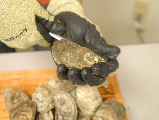 David Silvia shucks Sewansecott brand oysters at State