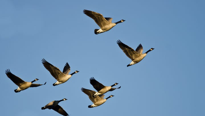 4 lessons salespeople can learn from watching geese
